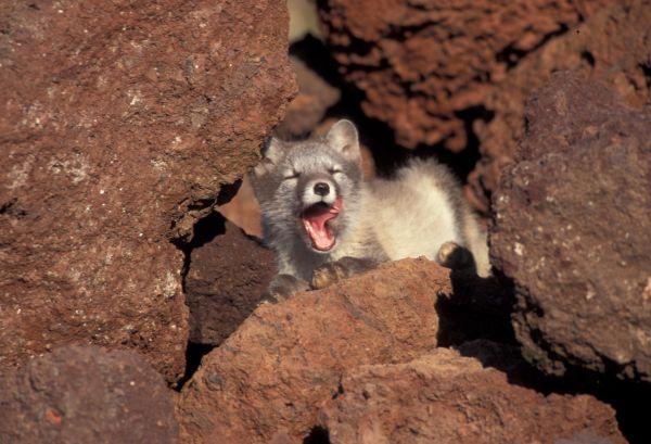Yawning_arctic_fox_1